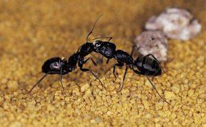 Conheça mais sobre os riscos de uma infestação de formigas e se formigas podem transmitir doenças
