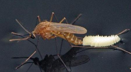 ovos de mosquitos