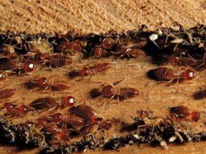 Como detectar danos de cupins Blog InsectControl