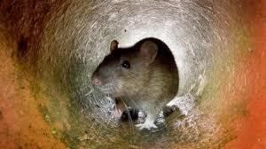 Como os ratos foram parar na minha casa