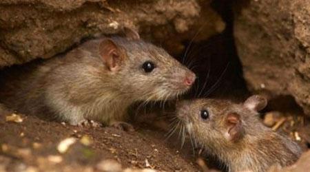 como identificar infestação de ratos