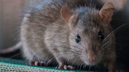dúvidas sobre ratos