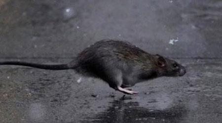 aprenda tudo sobre ratos