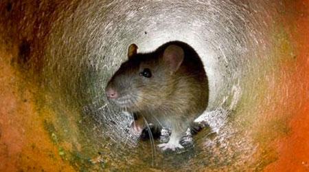 o que atrai ratos para minha casa?