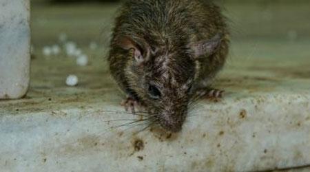 doenças transmitidas por ratos