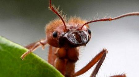 Infestação de formigas é perigosa?